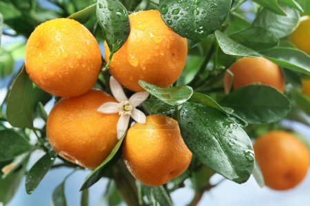 Photo for Ripe tangerines on a tree branch. Blue sky on the background. - Royalty Free Image