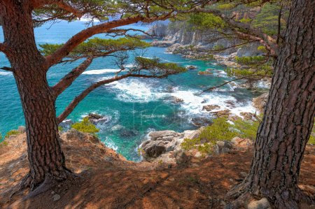 Cedar by the sea1