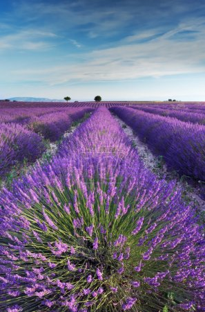 Lavender field in Provence in the early hours of the morning