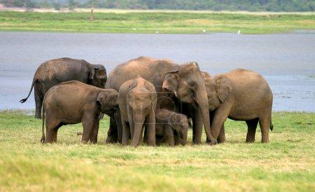Photo pour Un troupeau d'éléphants sri-lankais (la plus grande des quatre sous-espèces de l'éléphant d'Asie) dans le parc national de Minneriya, Sri Lanka - image libre de droit
