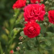Climbing red roses on white picked fence...