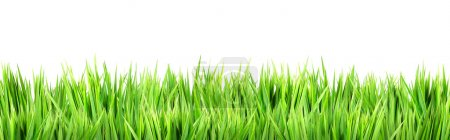 Photo for Wet green grass, isolated on white background - Royalty Free Image