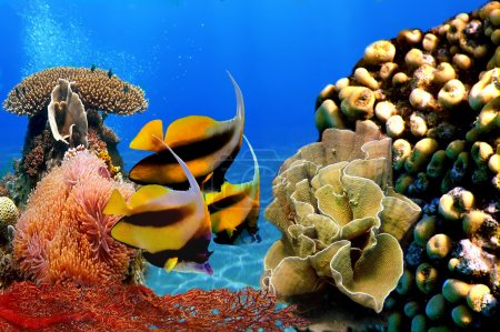 Photo of a coral colony and Bannerfish