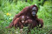 Female the orangutan with the kid on a grass.