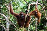 žena orangutan s klukem ve větvích stromů