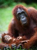 Female the orangutan with the cub.