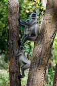 Langurs on the tree.