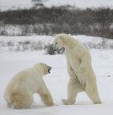Fight of polar bears. 1