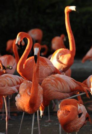 Flamingo on a sunset.