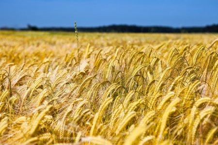 Champ de blé sur ciel bleu