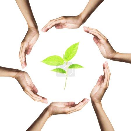 Photo pour Plante verte entourée de mains. isolé sur blanc - image libre de droit