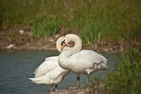 A pair of mute swans stands at the edge of a pond....