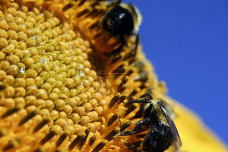 Summer worker bees on sunflower