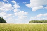 Yellow grass field near forest edge.