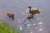 Matka kachna s dvěma Kachňata, koupání v rybníku