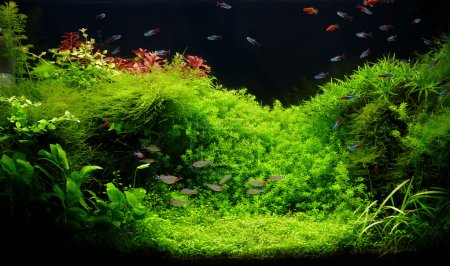 Nature freshwater aquarium in Amano style with little characins