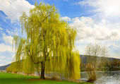 Beautiful weeping willow in a park