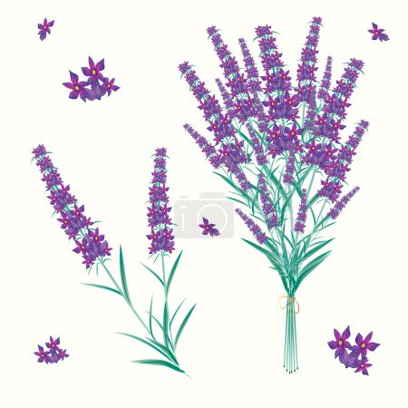 Illustration for Vector lavender - Royalty Free Image