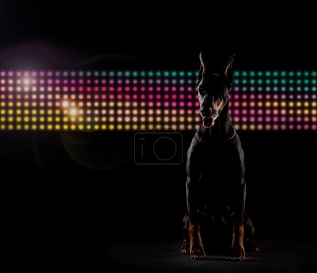 Portrait of a doberman in front of the led wall on...