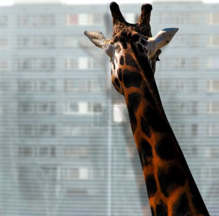 Giraffe looking out of the window