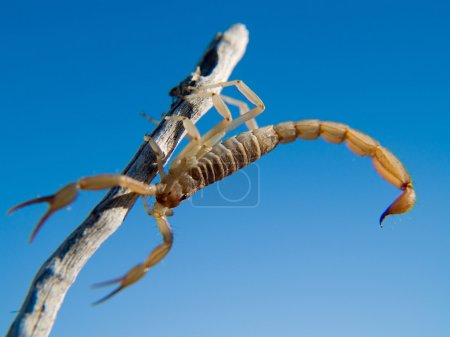Scorpion Climbing