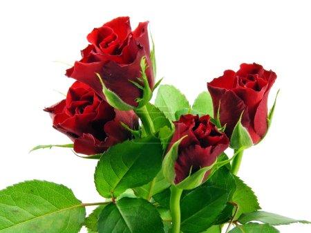 Photo pour Une sélection de roses rouges sur fond blanc - image libre de droit