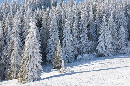 Photo pour Hiver, paysage de montagne calme de givre et de neige couvertes d'épinettes - image libre de droit