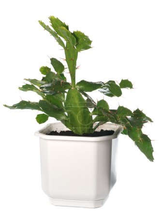 Potted cactus plant isolated on white.