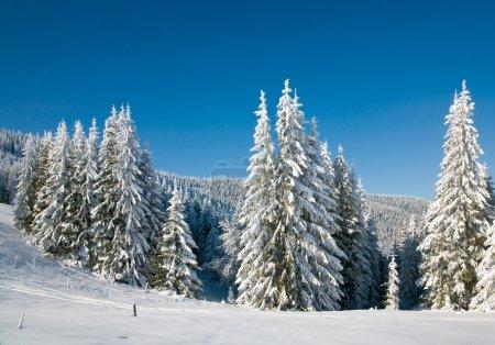 Winter spruce trees