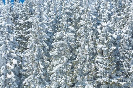 Photo pour Hiver sapins neigeux (fond naturel ) - image libre de droit