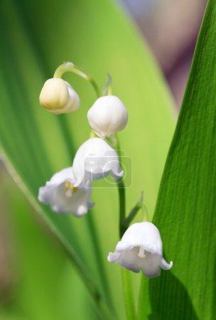 Photo pour Lily of the valley « convallaria majalis » de printemps (close-up) - image libre de droit