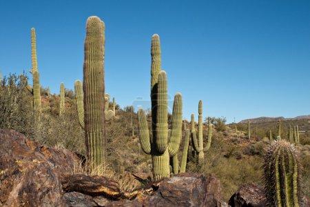 Photo for Arizona high elevation vegetation, giant saguaro - Royalty Free Image