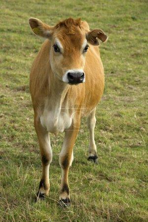 Jersey cow in field