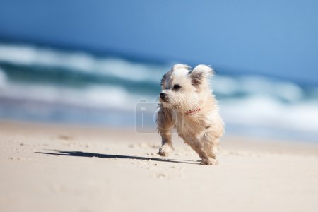 Small cute dog running on a white beach