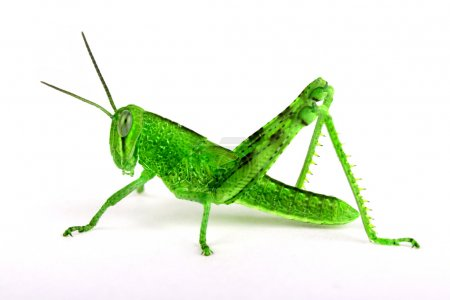 Isolated grasshopper, sideview