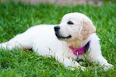 Golder retrívr štěně dívka na trávě