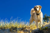 Golden retriever dans l'herbe