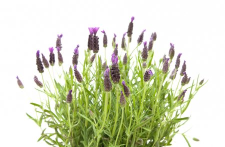 Lavandula Stoechas (French lavender; Spanish Lavender; Topped Lavender); is