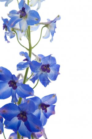 Photo for Bright blue delphinium flower; - Royalty Free Image