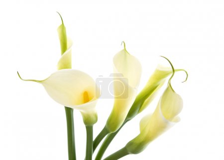 Five calla lilies isolated on white background