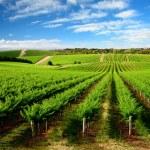 Vineyard in One Tree Hill, South Australia...