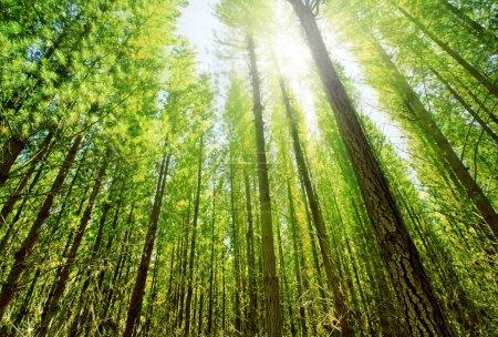 Photo pour Soleil brille à travers la forêt dense - image libre de droit
