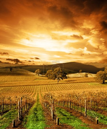 Photo for Autumn Sunset over vineyard - Royalty Free Image