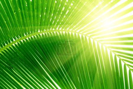 Photo pour Feuilles de palmier et le matin de lumière - image libre de droit