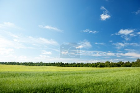 Photo for Oat field and sunny sky - Royalty Free Image