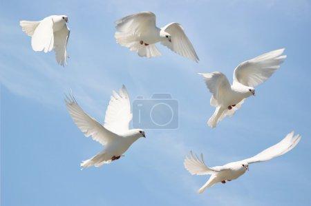 Photo pour Image composite d'une colombe blanche en vol - image libre de droit