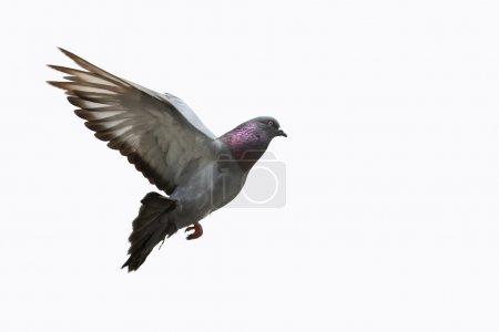 Photo pour Beau pigeon en fond de vol, blanc. - image libre de droit