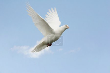 Photo pour Belle blanche colombe volante, bleu fond de ciel - image libre de droit