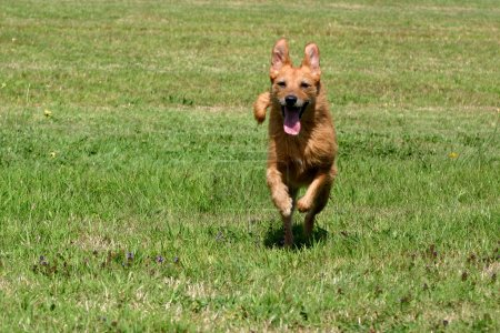 Happy senior dog running