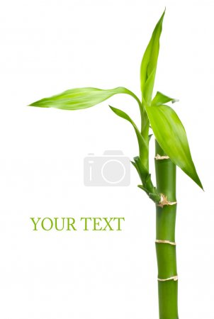 Photo for Bamboo with leaves on white background - Royalty Free Image